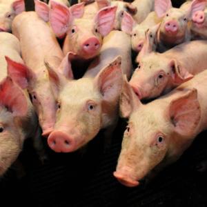 BAFU-Ausschreibung: Umwelttechnologie für die Tierhaltung international vergleichbar verifizieren